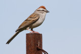 chipping sparrow 35