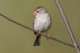 field sparrow 36