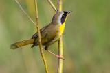 common yellowthroat 16