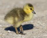 gosling 178