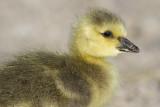 gosling 180