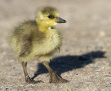 gosling 181