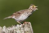 savannah sparrow 71