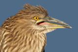 juvenile black-crowned night heron 399