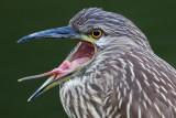 juvenile black-crowned night heron 403