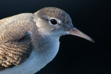 juvenile spotted sandpiper