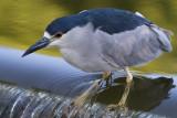 black-crowned night heron 243