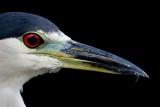 black-crowned night heron 246