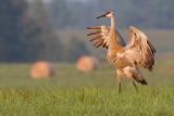 sandhill crane 301