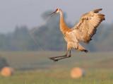 sandhill crane 303