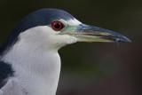 black-crowned night heron 249