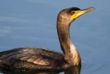 cormorant 112