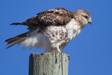 red-tailed hawk 344