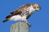red-tailed hawk 345