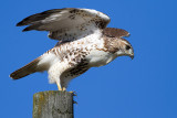red-tailed hawk 347