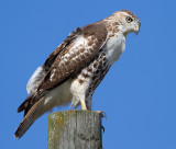 red-tailed hawk 348