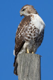 red-tailed hawk 349