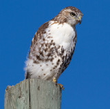 red-tailed hawk 350