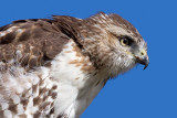 red-tailed hawk 351