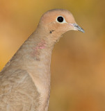 mourning dove 67