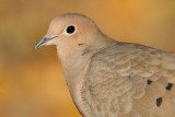 mourning dove 68