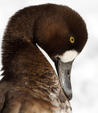 scaup 59
