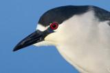 black-crowned night heron 250