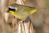 common yellowthroat 19