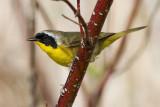 common yellowthroat 21