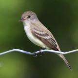 least flycatcher 8