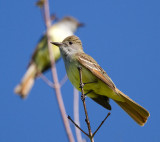 great crested flycatcher 5