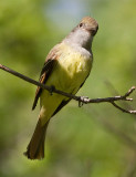 great crested flycatcher 6