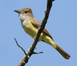 great crested flycatcher 7