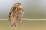 juvenile savannah sparrow 10
