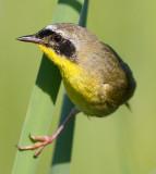 common yellowthroat 22