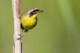 common yellowthroat 23