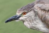 immature black-crowned night heron 389