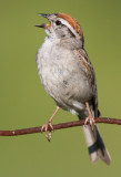 chipping sparrow 36