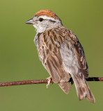 chipping sparrow 37