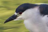 black-crowned night heron 252