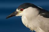 black-crowned night heron 253