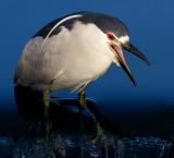black-crowned night heron 254