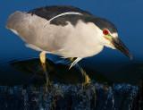black-crowned night heron 255