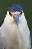 black-crowned night heron 256