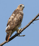 red-tailed hawk 356
