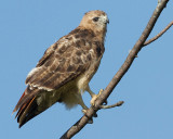 red-tailed hawk 357