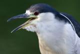 black-crowned night heron 258