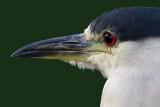 black-crowned night heron 259