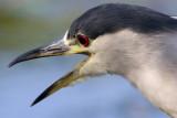 black-crowned night heron 260