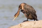 cormorant 113